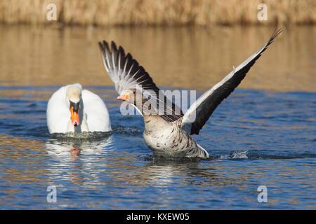 Territorial mute swan (Cygnus olor) chasing away greylag goose / graylag goose (Anser anser) swimming in lake - Stock Photo