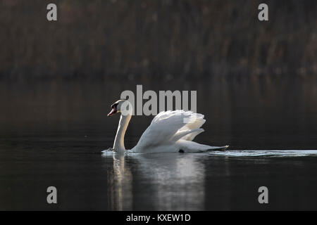 Territorial mute swan (Cygnus olor) male swimming in lake while showing dominant aggressive posture in spring - Stock Photo
