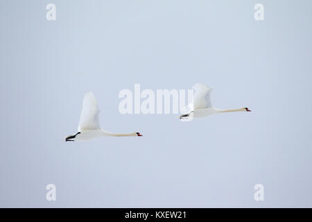 Two mute swans (Cygnus olor) in flight against pale sky - Stock Photo