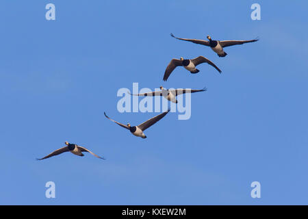 Migrating barnacle goose (Branta leucopsis) flock / barnacle geese in flight against blue sky - Stock Photo