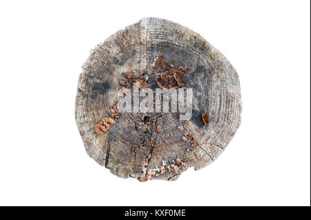 Old grey wooden stump isolated on the white background. Round cut down tree with annual rings as a wood texture. - Stock Photo