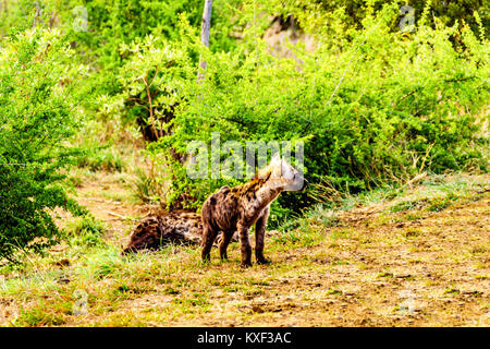 Juvenile Hyena in Kruger National Park in South Africa - Stock Photo