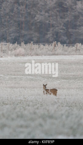 Vertical photo of single female roebuck with brown fur. The animal is on frozen meadow and in front of trees and - Stock Photo