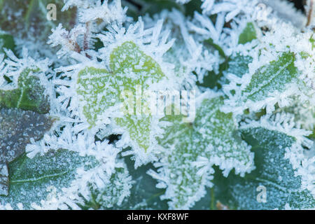 ivy covered in hoar frost - Scotland, UK - Stock Photo