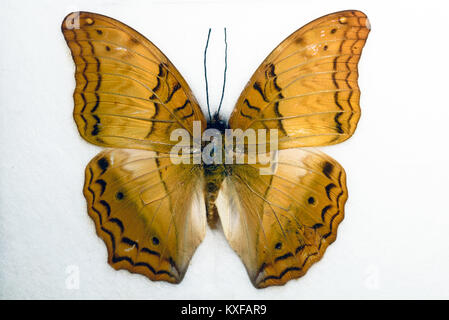 Cruiser Vindula arsinoe Butterfly on a white background - Stock Photo