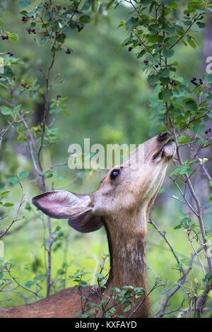 Mule Deer doe (Odocoileus hemionus) feeding on Saskatoon berries  (Amelanchier alnifolia)