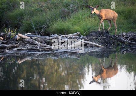 Mule Deer walking across beaver pond (Odocoileus hemionus) - Stock Photo