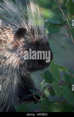 Porcupine in Saskatoon Berry tree (Erethizon dorsatum) - Stock Photo