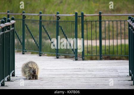 Porcupine crossing bridge in Inglewood wildlife sanctuary (Erethizon dorsatum) - Stock Photo