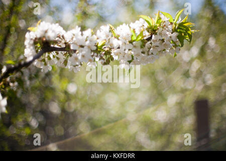 Spring. apple Trees in Blossom. flowers of apple. white blooms of blossoming tree close up. Beautiful spring apricot - Stock Photo