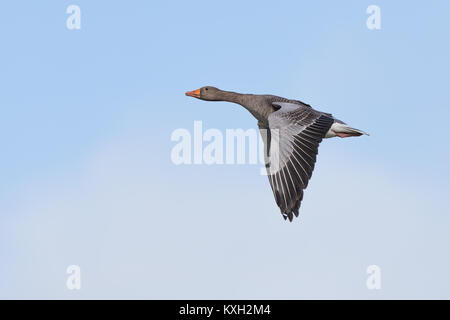 Side view of isolated UK greylag goose (Anser anser) flying upwards in clear blue sky, wings down, like Concorde - Stock Photo