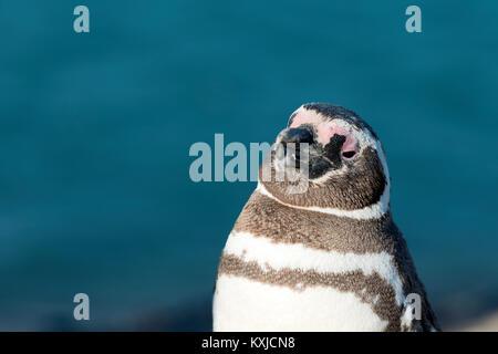 Magellanic penguin in natural environment, Peninsula Valdes, Patagonia, Argentina - Stock Photo