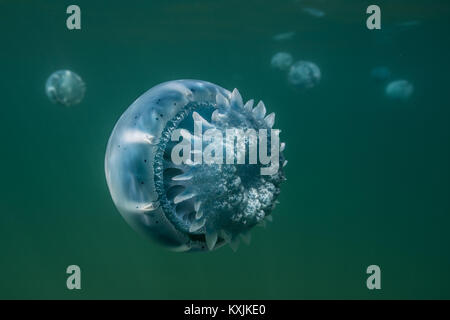 Cannonball jellyfish (Stomolophus meleagris), in ocean, underwater view, La Paz, Baja California Sur, Mexico, North - Stock Photo