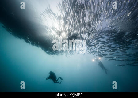 Underwater view of two scuba divers diving below shoaling jack fish in blue sea, Baja California, Mexico - Stock Photo