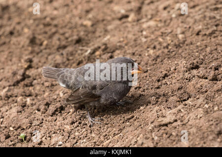 Small ground finch,( Geospiza fuliginosa ), a Darwin Finch, Espanola Island, Galapagos Islands Ecuador South America - Stock Photo