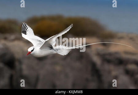 Red Billed tropic bird in flight ( Phaethon aethereus ), Espanola Island, Galapagos Islands Ecuador South America - Stock Photo