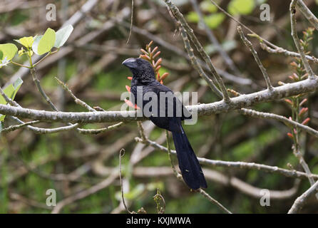 Smooth Billed Ani perched in a tree, ( Crotophaga ani ), Santa Cruz Island, Galapagos Islands Ecuador South America - Stock Photo