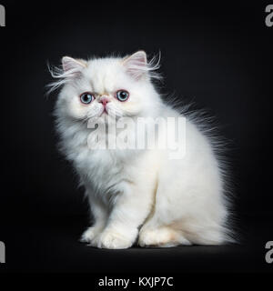 Persian cat / kitten sitting sideways isolated on black background looking straight in camera - Stock Photo