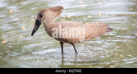 A Hamerkop wading searching for food, Valley camp Mara Naboisho conservancy Kenya Africa - Stock Photo