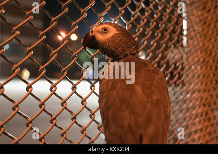 A Congo African Grey Parrot behind a chain link fence at night. - Stock Photo