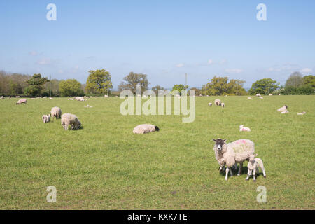 Grazing sheep with young lambs in a field on Friz Hill, near Walton, Warwickshire, England, UK, Europe - Stock Photo