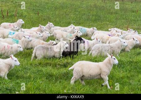 flock of sheep running through field with long grass - Shetland, Scotland, UK - Stock Photo