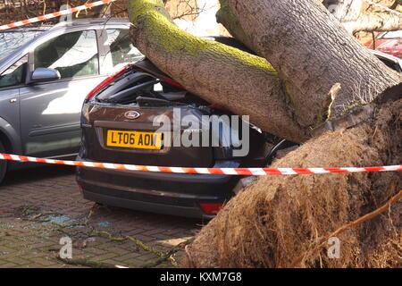 Giant tree falls onto car in Neasden, London, England - Stock Photo