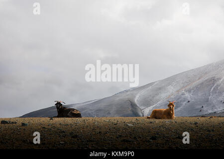 Two goats resting black and brown goats lying winter Mongolia snowy mountains cloudy day - Stock Photo