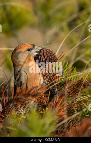 Parrot Crossbill (Loxia pytyopsittacus) adult male eating seed from Pine tree - Stock Photo