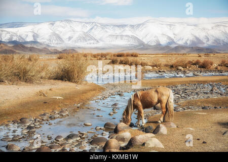 Mongolian blonde horse drinking from river Mongolia steppes grasslands snowy mountains winter - Stock Photo