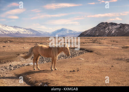 Mongolian blonde horse Mongolia steppes grasslands snowy mountains winter - Stock Photo