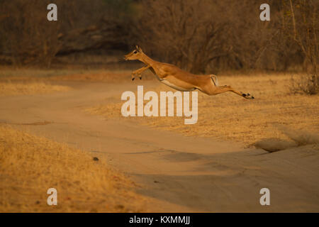 Impala (Aepyceros melampus) leaping mid air over dirt track,Chirundu,Zimbabwe,Africa - Stock Photo