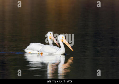 White Pelicans - Stock Photo