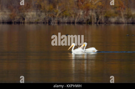 Two White Pelicans on Golden Pond - Stock Photo