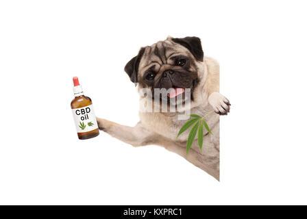 cute smiling pug puppy dog holding up bottle of CBD oil and marijuana hemp leaf, isolated on white background - Stock Photo