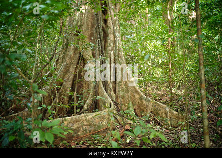 Buttress roots expanding on the cloud forest floor - Stock Photo