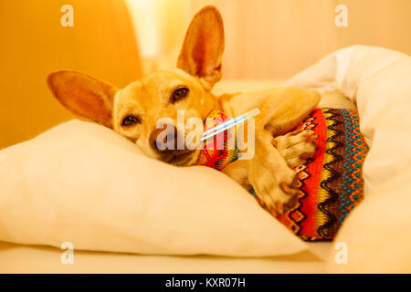 sick and ill chihuahua  dog resting  having  a siesta or sleeping  with thermometer and hot water bottl - Stock Photo