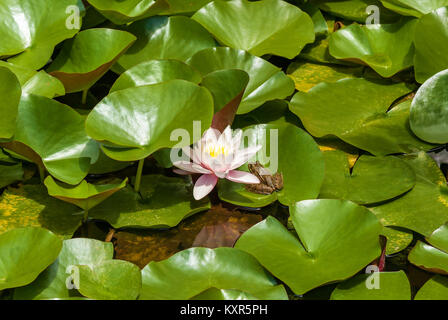A white water lily on the water, next to the frog sits. White water-lily.journey to Georgia - Stock Photo