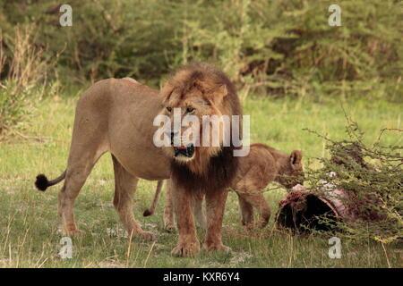 Lion in the Rain Botswana - Stock Photo
