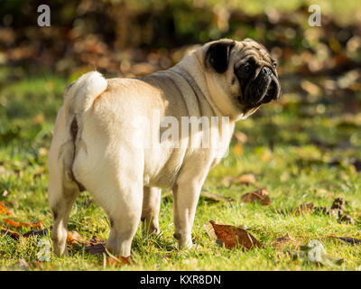 A beautiful pug stands in the meadow - Stock Photo