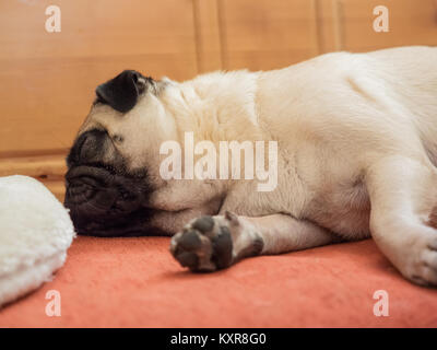 A pug is lying on the corner bench and is sleeping - Stock Photo