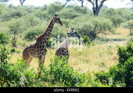 Masai Giraffe grazing in the Serengeti - Stock Photo