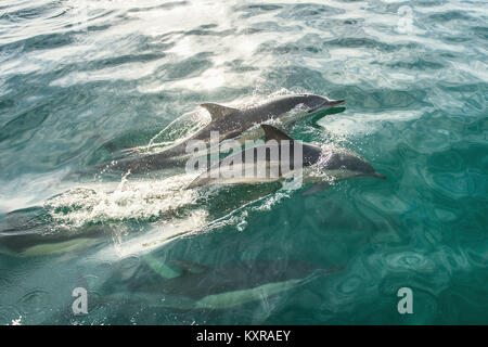 Group of dolphins, swimming in the ocean. Dolphins swim and jumping from the water. The Long-beaked common dolphin - Stock Photo