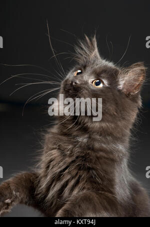 Beautiful four month old all black long haired kitten. - Stock Photo