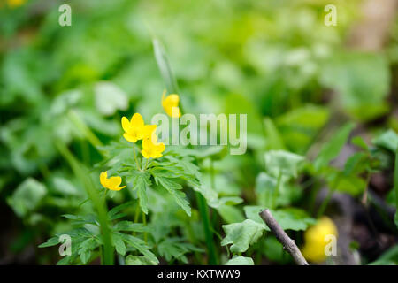 The yellow wood anemone (in Latin: Anemone Ranunculoides) blooms in the forest - Stock Photo
