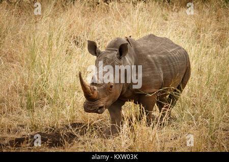 White Rhino in Grassland - Stock Photo