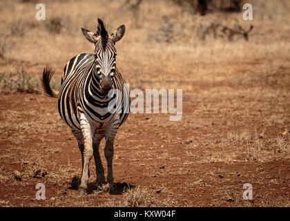 Heavily Pregnant Zebra Mare - Stock Photo