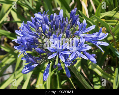 Agapanthus africanus, Agapanthus or African Lily or Lily of The Nile in Flower in June - Stock Photo