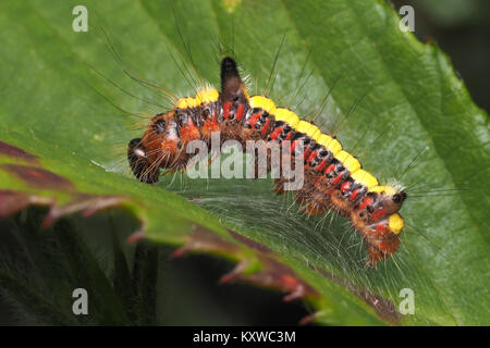 Grey Dagger moth caterpillar (Acronicta psi) resting on a bramble leaf. Cahir, Tipperary, Ireland. - Stock Photo