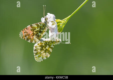 Mating Orange Tip butterflies (Anthocharis cardamines) on a cuckoo flower aka Lady's Smock (Cardamine pratensis). - Stock Photo